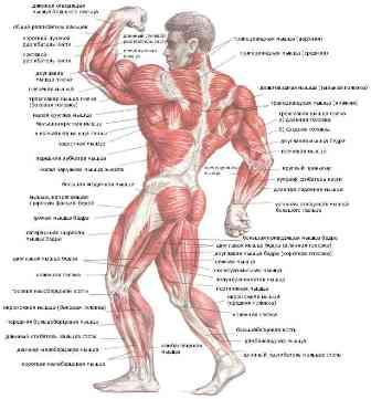 виды мышц фитнес
