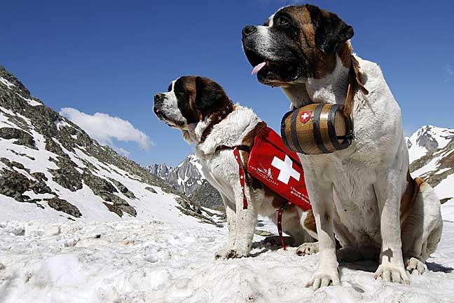 собаки спасатели породы и фото