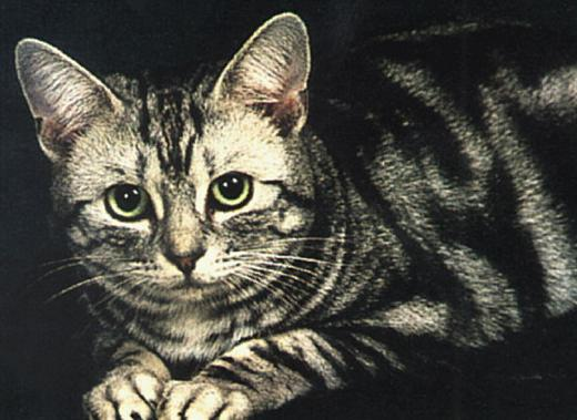 Порода кошек американская короткошерстная фото