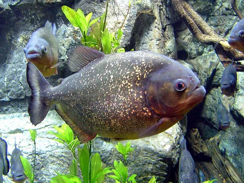 Хищные рыбы в аквариуме фото